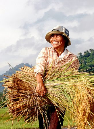Sweat to sweet success: 85 new stress-tolerant rice varieties released after years of scientific work