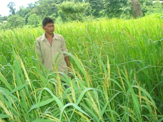 Inglongkiri rice variety